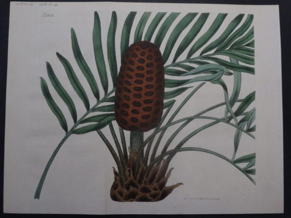 19th century engraving from the Botanical Magazine. Curtis Zamia SL1838