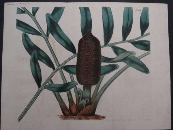 19th century engraving from the Botanical Magazine. Curtis Zamia SL1851