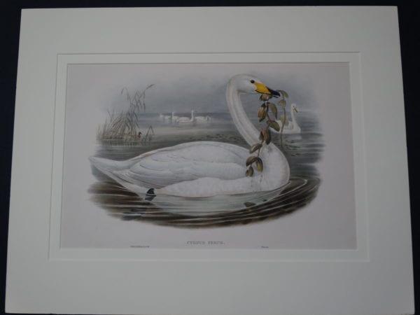 Cygnus Ferus or Singing Whooper Swan by John Gould