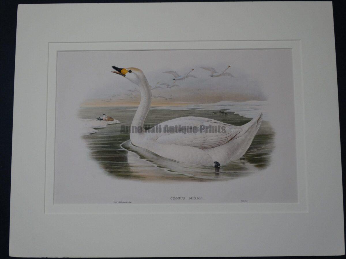 John Gould's Birds of Great Britain