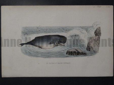 Le Cachalot Macrocephale, c.1860. $85.