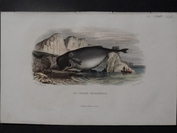 Travies antique print of whale
