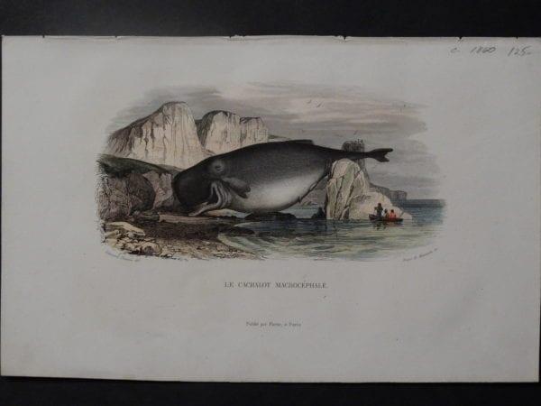 Le Cachalot Macrocephale, c.1800. $125.