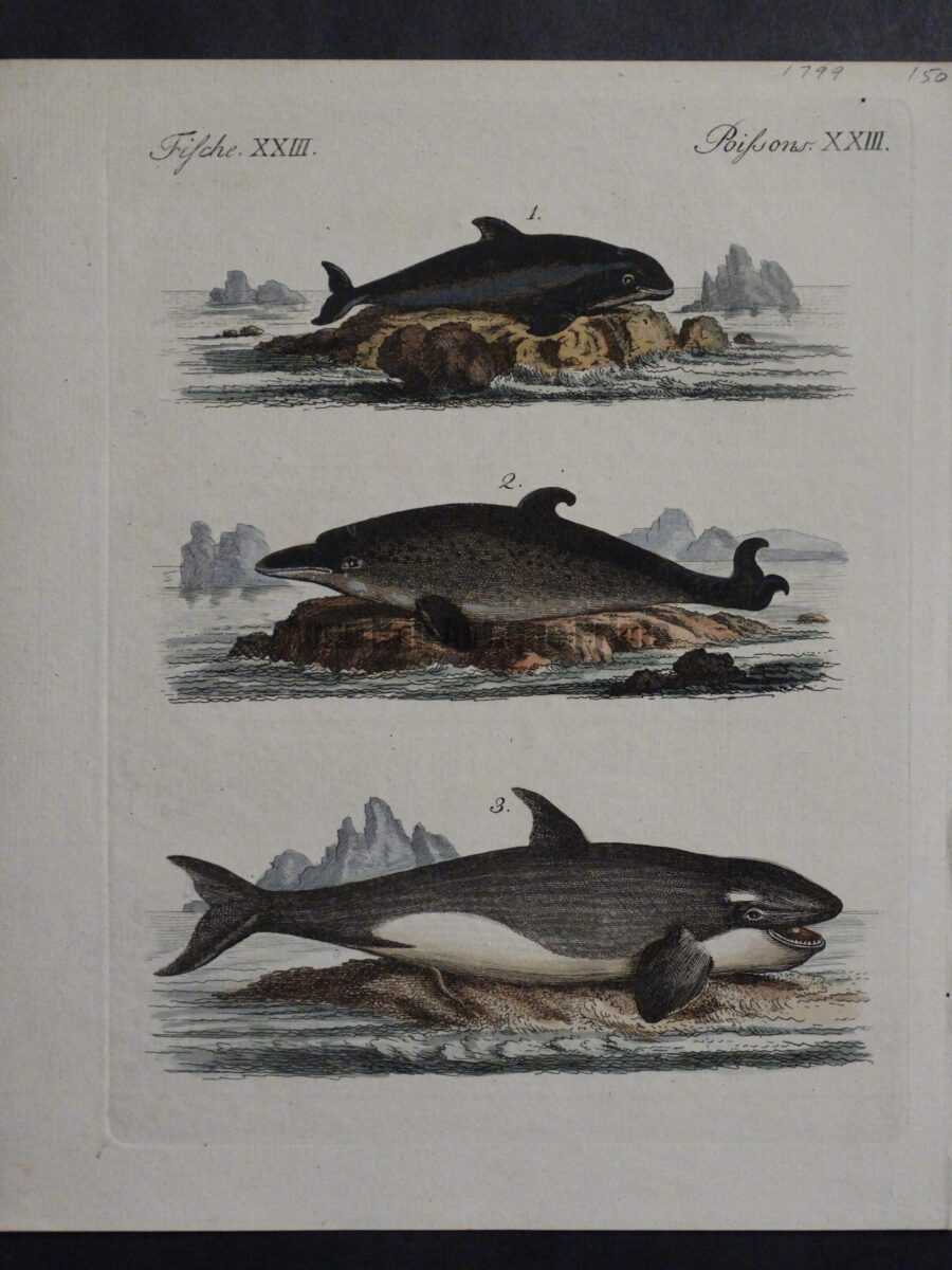 Depiction of 3 marine mammals including orca whale. An antique engraving with watercolors.