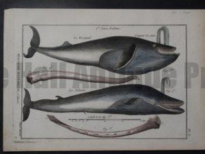Genre, Baleines and La Jubarte, c.1790. $250.