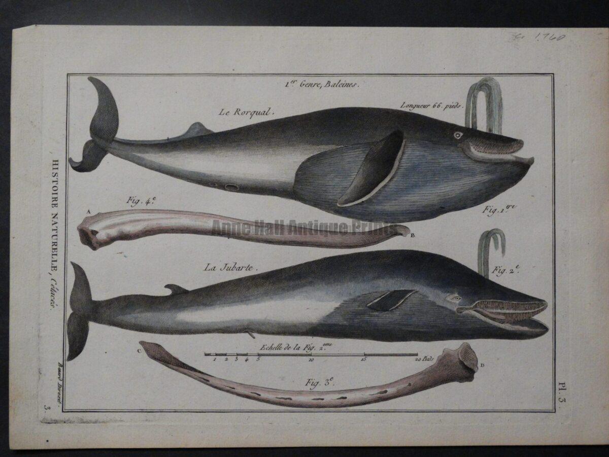 18th century whale anatomy engraving