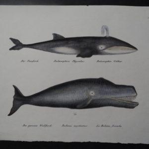 Der Finnfisch and Der gemeine Wallfisch, 1850. $250.