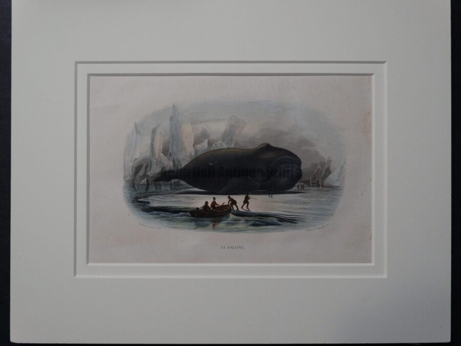 19th century whale engraving