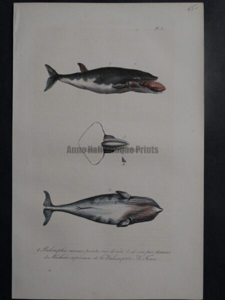 whale anatomy engraving