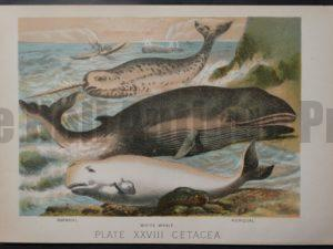 Plate XXVIII Cetacea, 1885. $35.