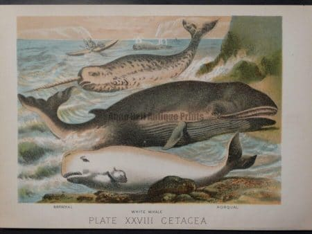 color lithograph whales narwhals