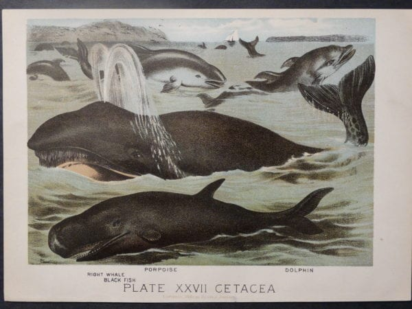Plate XXVII Cetacea, 1885. $45.