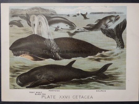 old American whale lithograph