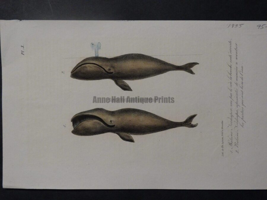 antique whale lithograph from 1835, of 2 baleens, one is spouting