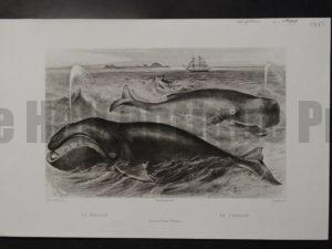 La Baleine, Le Cachalot, c.1900. $125.