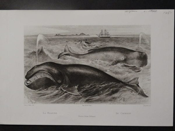 antique whale engravings