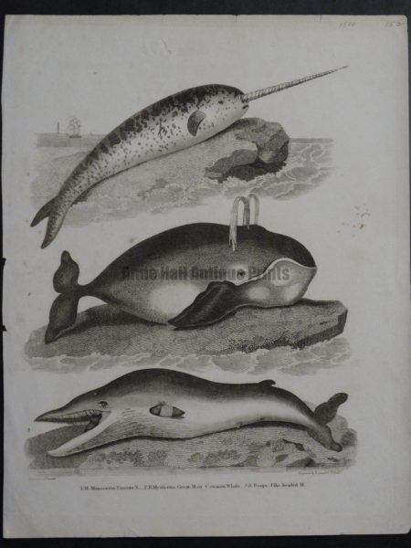 narwhale, spouting whale, 3 species including Mysticus, antique engraving circa 1800.
