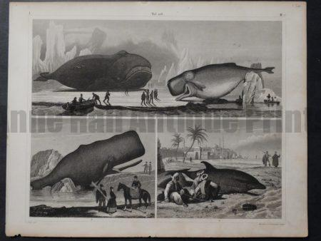 Untitled Whales 2, c.1850. $150.