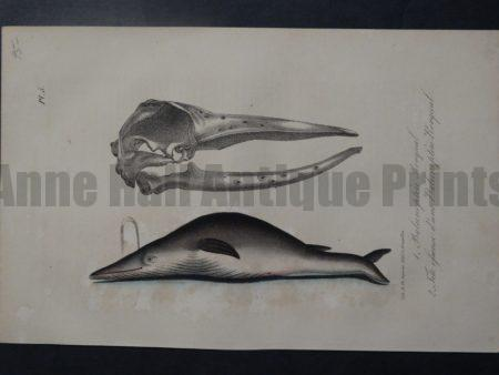 Baleinoftere Rorqual, Plate 5, 1835. $95