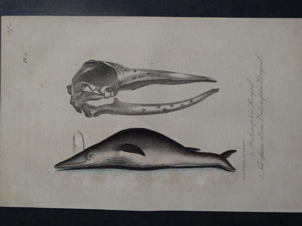 baleen whale anatomy lithograph