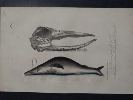 baleen whale anatomy lithograph
