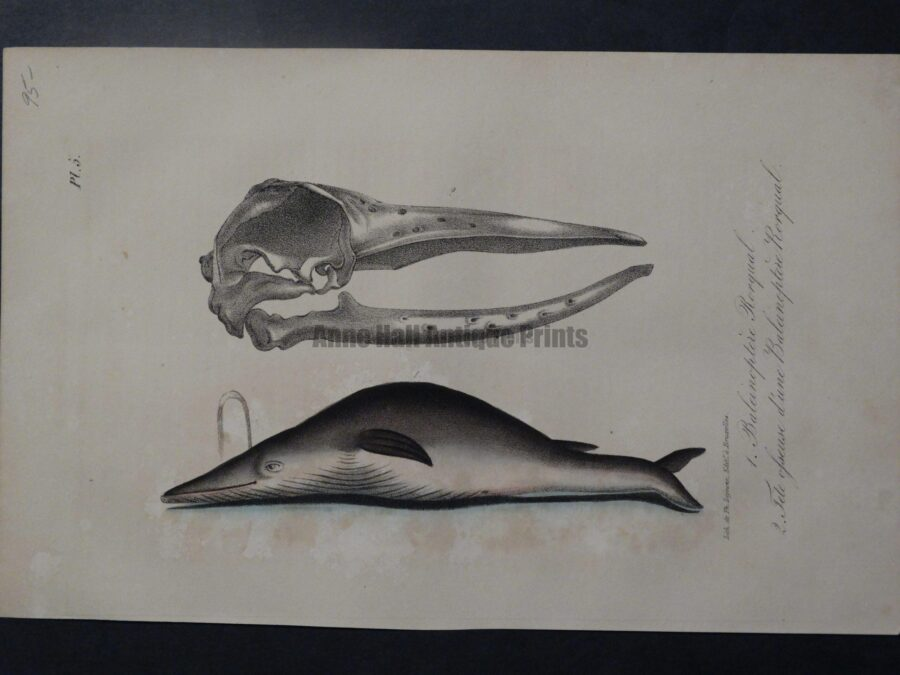 humpback whales, baleen whale anatomy lithograph