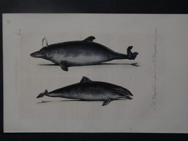 Le Daufhin vulgaire, 1835. $85.