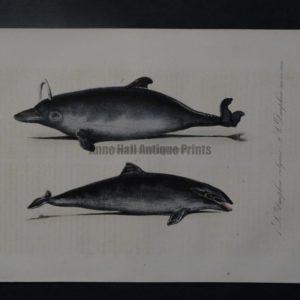 dolphin spouting antique print