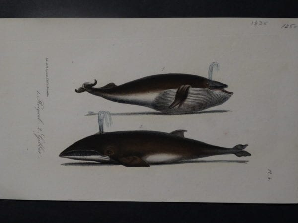 Rorqual Gibbar whale lithograph from 1835