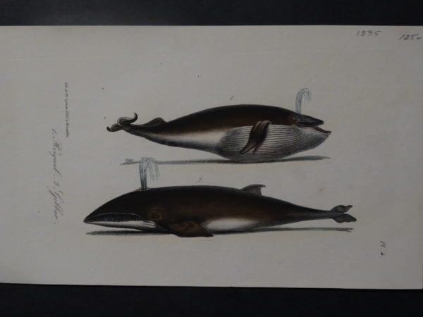 Rorqual, Gibbar, 1835. $125.