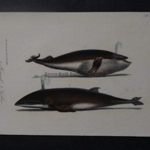 Rorqual Gibbar whale lithograph