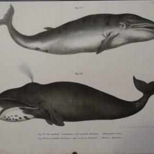 Balaena Mysticetus Whale Lithograph (lower), Balaenoptera Boops (top) Hand Colored Lithograph from 1856. 9×11 1/2″ $250.