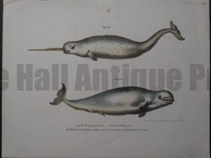 Narwal Beluga Whales, Hand Colored Lithograph 9×12″ $150.