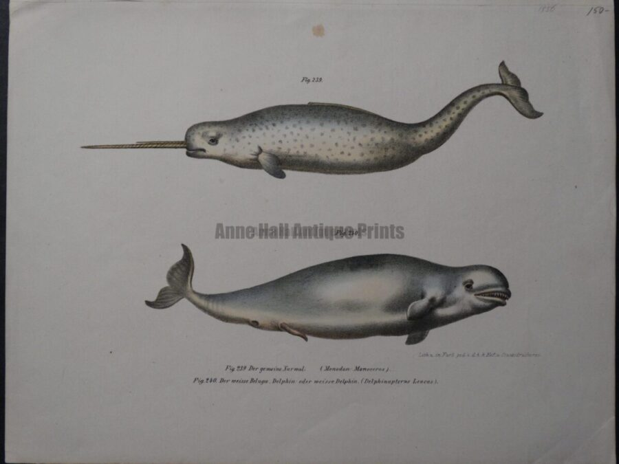 Narwal Beluga Whales, an original 1856 lithograph, by Schintz & Fitzinger.
