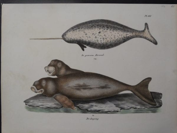 Narwal Whale Dugong Hand Colored Lithograph. 9×11 1/2″ $85.