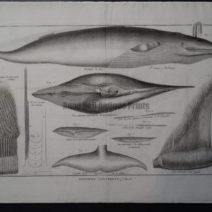 scientific engraving whales