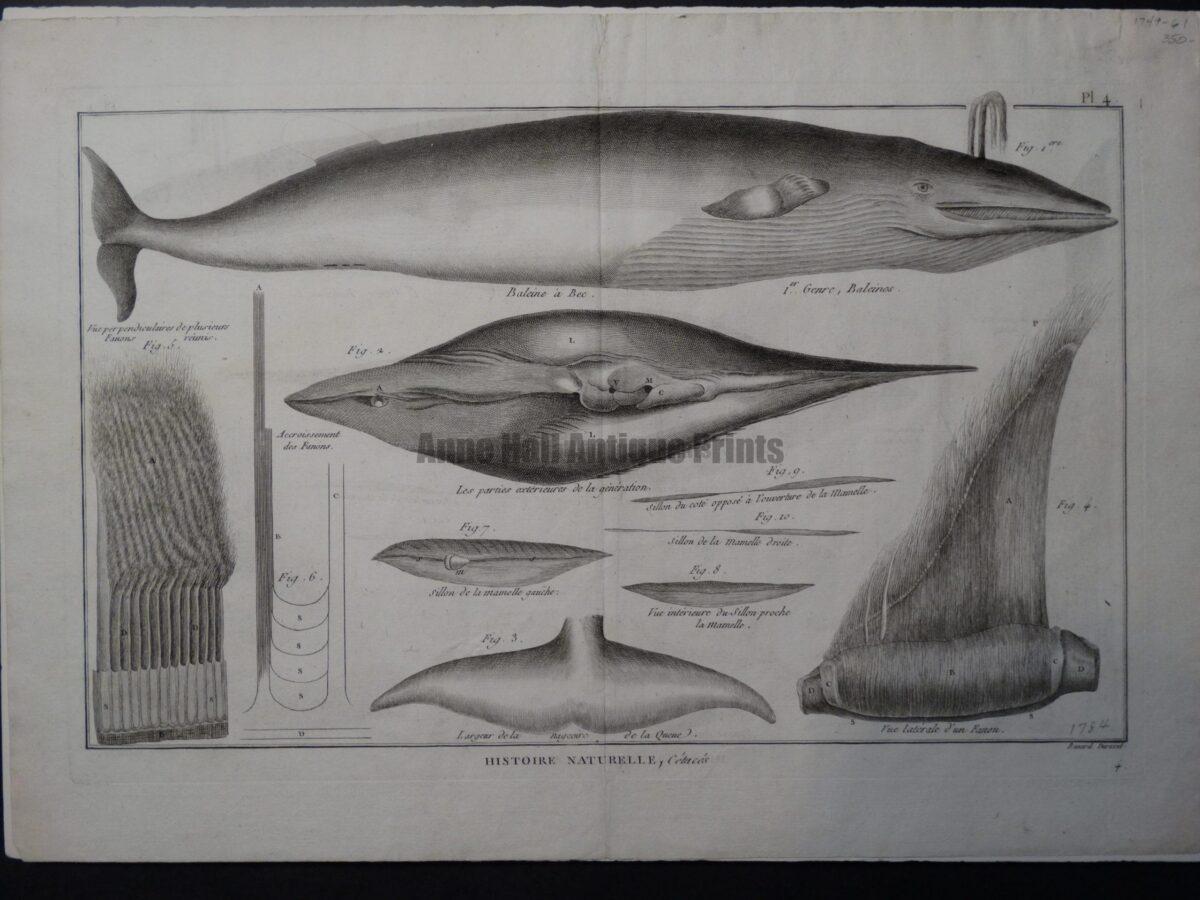scientific engraving whales