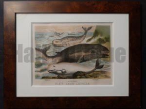 Whale Chromolithographs Framed. Narwhale, White Whale, Rorqual.