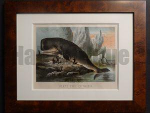 Sperm Whale Chromolithograph Framed. Sperm Whale, published in New York 1880.