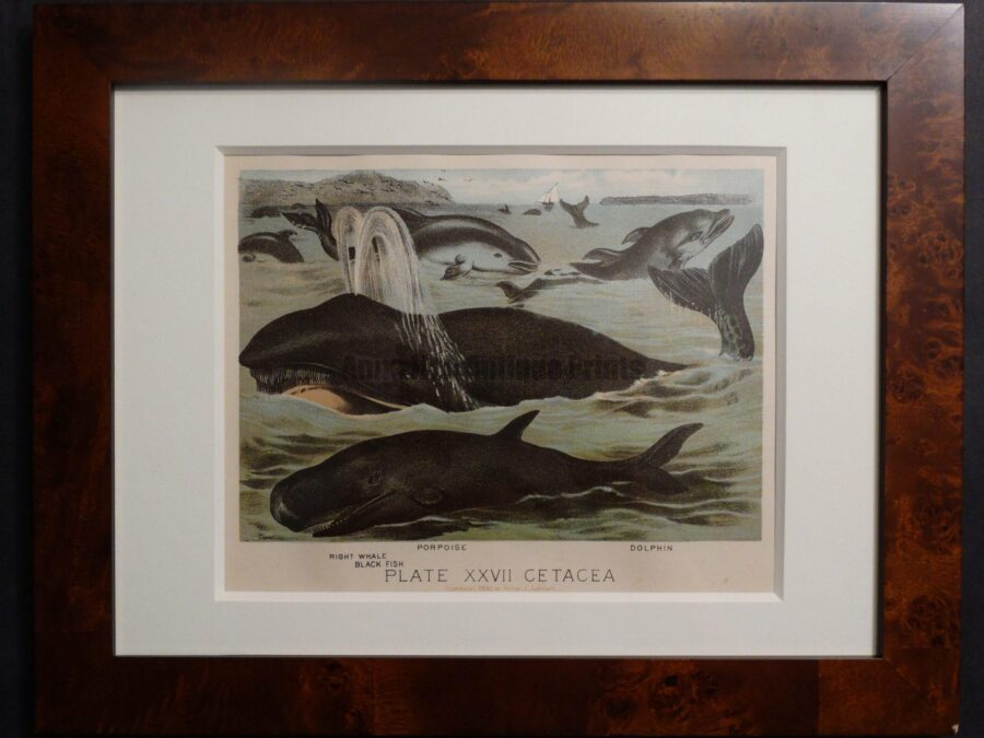 Orca, Right Whale, Black Fish. Antique whale prints,. Old chromolithographs, Framed.