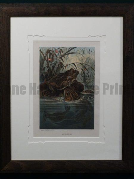 Bull Frogs Framed. 1885. $225.