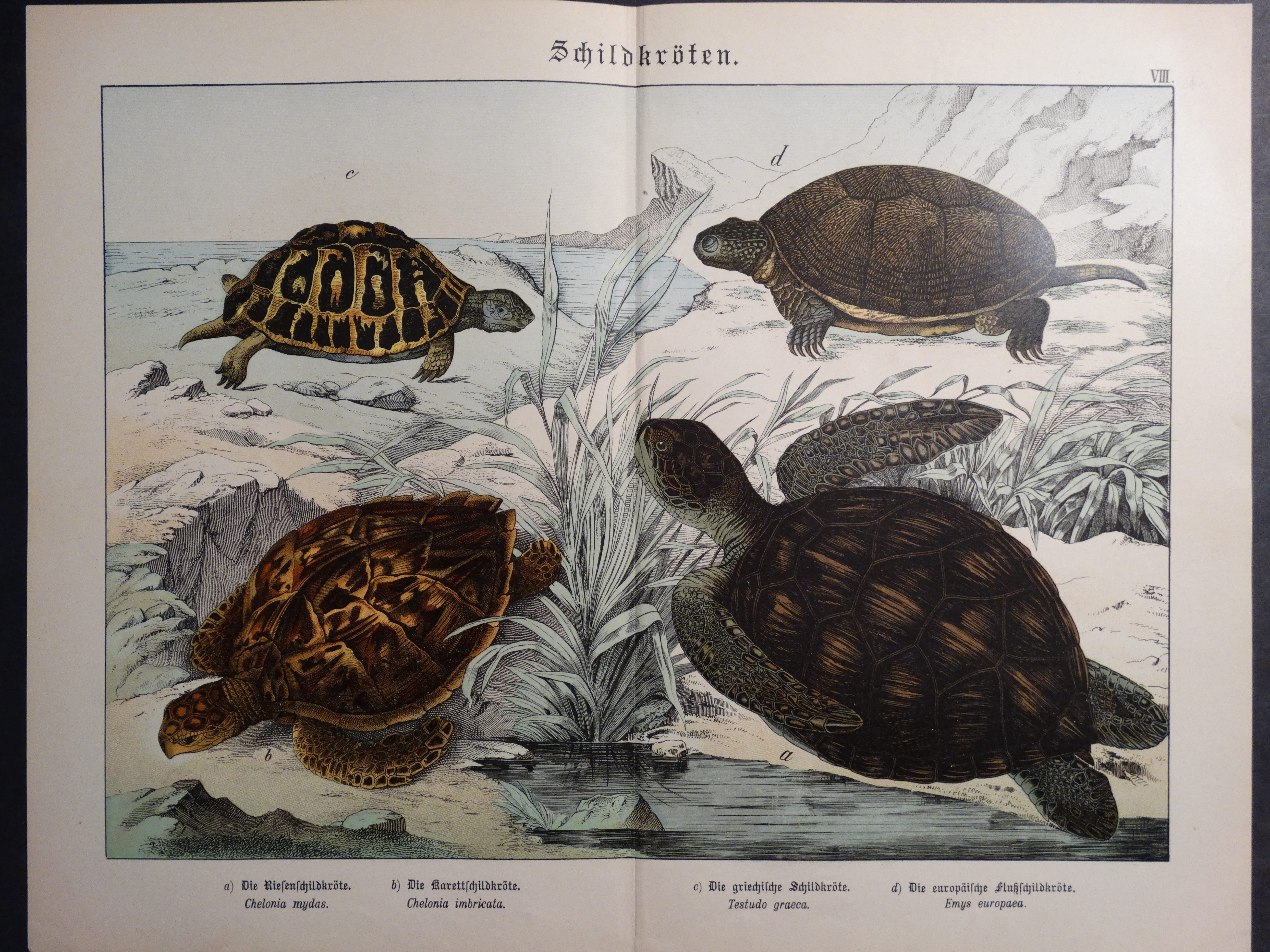 Turtles Chromolithograph Shubert
