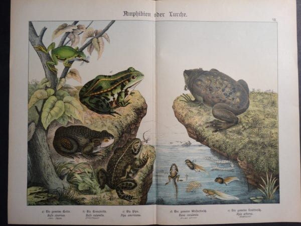 Frogs Chromolithograph Shubert $175.