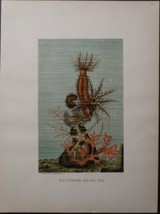 Holothurians and Sea Star. 1885. $85.