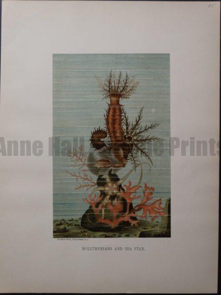 Holothurians and Sea Star. 1885. $85.