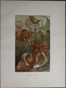 Hermit-Crabs. 1885. $85.