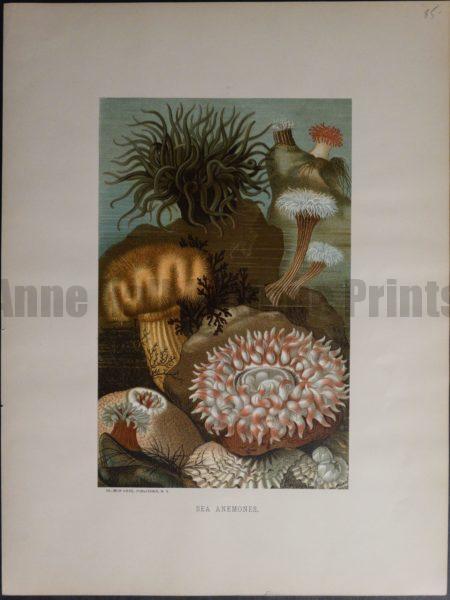 Sea Anemones. 1885. $85.
