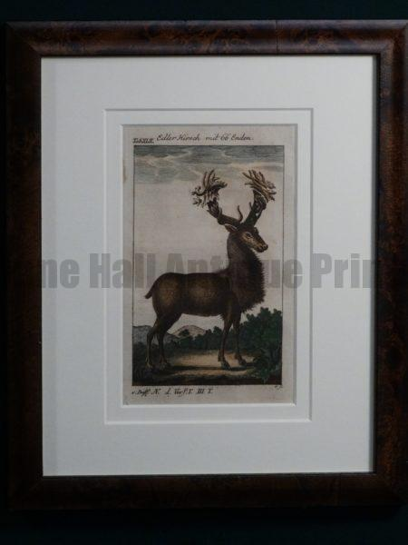 Compte de Buffon Deer Hand Colored Engraving Framed #XLII Elder Hirch mit 66 Enden
