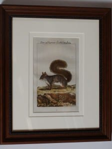 Buffon Squirrel Engraving. Das Aschgraue Eichorn #2