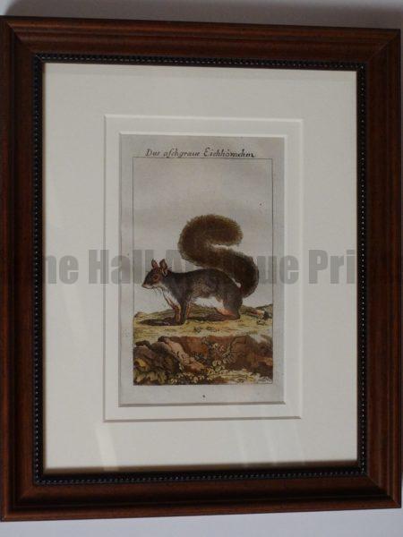 Buffon Squirrel Engraving. Das Aschgraue Eichorn #2